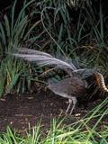 Superb Lyrebird Singing and Displaying (Menura Novaehollandiae), Healesville Sanctuary, Victoria Photographic Print by Dave Watts
