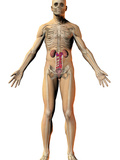 Human Male Figure Showing the Urinary System Photographic Print by Carol & Mike Werner