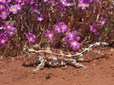 Thorny Devil (Moloch Horridus), Western Australia Photographic Print by Dave Watts