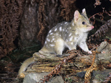 Eastern Quoll (Dasyurus Viverrinus) Light Color Phase, Tasmania, Australia Photographic Print by Dave Watts