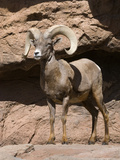 Desert Bighorn Sheep Photographic Print by Tom Walker