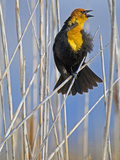 Yellow-Headed Blackbird (Xanthocephalus Xanthocephalus), Western North America Photographic Print by Leroy Simon