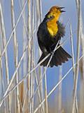 Yellow-Headed Blackbird (Xanthocephalus Xanthocephalus), Western North America Photographic Print by Leroy Simon