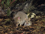 Tasmanian Bettong (Bettongia Gaimardi), Female and Joey, Tasmania, Australia Photographic Print by Dave Watts