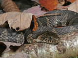 Northern Water Snake (Nerodia Sipedon), Family Colubridae, Eastern USA Photographic Print by David Wrobel