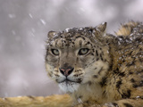 Snow Leopard Head in a Snowstorm (Panthera Uncia), Captive Photographic Print by Dave Watts
