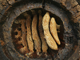 Hollow Chestnut Log Hive Reveals the Details of the Honey Bee Comb Architecture Photographic Print by Eric Tourneret