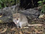 Tasmanian Bettong (Bettongia Gaimardi), Tasmania, Australia Photographic Print by Dave Watts