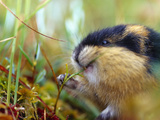 Norway Lemming (Lemmus Lemmus) Sweden it Is the Only Vertebrate Species Endemic to the Region Photographic Print by Solvin Zankl