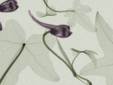 X-Ray Ivy Leaves and Flowers Photographic Print by George Taylor