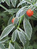 Frost on a Jerusalem Cherry Plant Photographic Print by Carol & Mike Werner