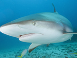Caribbean Reef Shark (Carcharhinus Perezi), St. Maarten, Caribbean Sea Photographic Print by Andy Murch