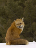 Red Fox (Vulpes Vulpes) Sitting on Snow, USA Photographic Print by Dave Watts