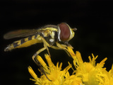 Hoverfly (Toxomerus), New Hampshire Photographic Print by David Wrobel