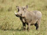 Warthog (Phacochoerus Africanus), Kenya Photographic Print by Arthur Morris