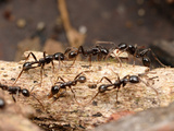 Ants (Neivamyrmex Pilosus) Is Among the More Commonly Encountered of the Neotropical Army Ants Photographic Print by Alex Wild