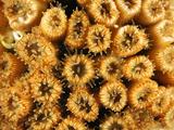 Coral Polyps (Cladocora Caespitosa), Mediterranean Sea, San Pietro Island, Sardinia Photographic Print by Solvin Zankl