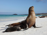 Galapagos Sea Lion (Zalophus Wollebacki) Adult and Pup, Galapagos Islands Photographic Print by Richard Roscoe