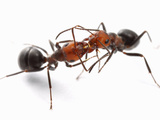 Thatch Ants (Formica Obscuripes) Engaged in Trophallaxis or Food Exchange, Wisconsin, USA Photographic Print by Alex Wild