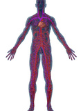 Human Male Figure Showing the Circulatory or Cardiovascular System Photographic Print by Carol &amp; Mike Werner