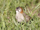 Speckle-Fronted Weaver (Sporopipes Frontalis), Kenya Photographic Print by Arthur Morris