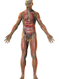 Human Male Figure Showing Major Body Systems: Skeletal, Muscular, Circulatory, Nervous Photographic Print by Carol & Mike Werner