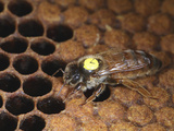 A Marked Queen Honey Bee on a Capped Brood Comb in the Hive Photographic Print by Eric Tourneret