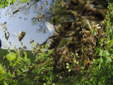 Honey Bee Swarm (Apis Mellifera) When the Size of the Colony Reaches Certain Stage Photographic Print by Solvin Zankl