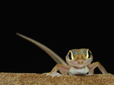 Web-Footed Gecko (Palmatogecko Rangei) on a Sand Dune in the Namib Desert, Namibia Photographic Print by Solvin Zankl