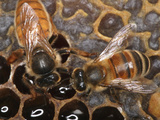 Recognizable by Her Size, the Queen Honey Bee Is Longer Than the Worker Bee Photographic Print by Eric Tourneret