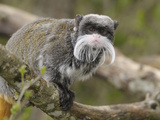 Emperor Tamarin (Saguinus Imperator), Captive Photographic Print by Dave Watts