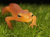 Red Eft Crawling on Moss (Notophthalmus Viridescens) the Terrestrial Phase of the Eastern Newt Photographic Print by David Wrobel