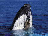 Humpback Whale (Megaptera Novaeangliae) Spy Hopping, Queensland, Australia Photographic Print by Dave Watts