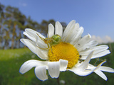 Cucumber Green Spider on a Daisy Flower (Araniella Cucurbitina), Germany Photographic Print by Solvin Zankl