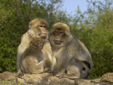 Barbary Macaque (Macaca Sylvanus) Family Group, Captive Photographic Print by Dave Watts