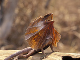 Frilled Lizard Displaying (Chlamydosaurus Kingii), Northern Australia Photographic Print by Dave Watts