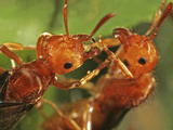 Close Up View of Red Ant Heads in the Flying Phase (Formica), Family Formicidae, New Hampshire, USA Photographic Print by David Wrobel