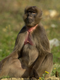 Gelada Baboon (Theropithecus Gelada), Captive Photographic Print by Dave Watts