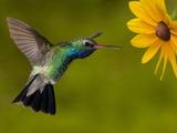 Broad-Billed Hummingbird (Cynanthus Latirostris) Male Feeding on a Sunflowers, Arizona, USA Photographic Print by Dave Watts