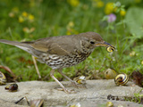Song Thrush (Turdus Philomelos) at Anvil Smashing Land Snails on Rock, UK Photographic Print by Dave Watts