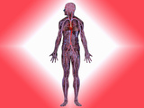 Human Representation of the Cardiovascular System Photographic Print by Carol & Mike Werner