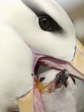 Black-Browed Albatross Feeding its Chick in the Nest (Diomedea Melanophris), Falkland Islands Photographie par Solvin Zankl
