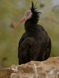 Northern Bald Ibis or Waldrapp (Geronticus Eremita) an Endangered Species, Captivity Photographic Print by Dave Watts