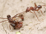 Acromyrmex Striatus Antworkers Cooperate to Bring a Seed Back to their Nest Photographic Print by Alex Wild