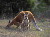 Red Kangaroo (Macropus Rufus) Male and Juvenile, Victoria, Australia Photographic Print by Dave Watts