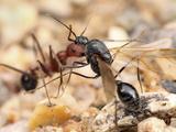 Harvester Ant (Aphaenogaster Albisetosa) Photographic Print by Alex Wild