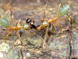 Weaver Ants (Oecophylla Smaragdina) Eating a Strobe Ant (Opsithopsis Respiciens), Cape Tribulation Photographic Print by Alex Wild