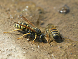 A Water Hole with Two Insect Enemies Drinking, a Hornet and a Bee Photographic Print by Eric Tourneret