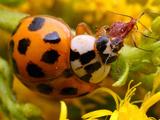 Asian Multicolored Lady Beetle (Harmonia Axyridis) with Prey, Illinois, USA Photographic Print by Alex Wild