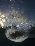 Lemon Shark Head Showing its Sharp Teeth (Negaprion Brevirostris), Bahamas, Atlantic Ocean Photographic Print by Andy Murch